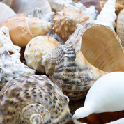 Sea Shells Large 500g
