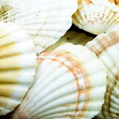 Scallop Shells 1kg